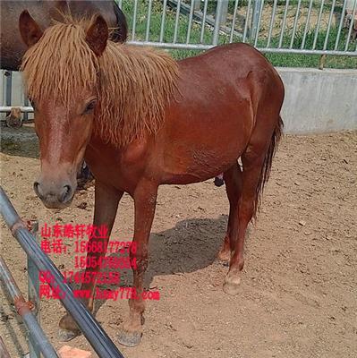 另外也引进英国的哈克尼,以培育漂亮的挽马,也有些人继续培育传统图片