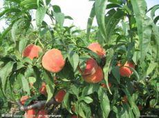 超越毛桃 供應優質超越毛桃 陜西超越毛桃