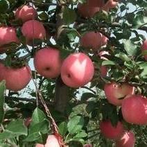 供應山東紙膜紅星蘋果價格