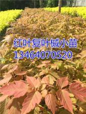 專業繁育紅葉復葉槭 紅葉復葉槭小苗 接穗
