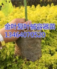 反季節銷售金葉復葉槭營養杯苗