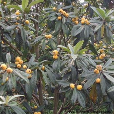 供应果树苗 育苗农户直销各规格果树种苗