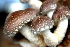 出售绿色环保纯绿色土香菇