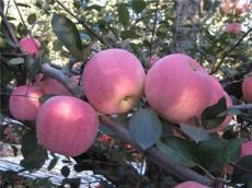 山東紅富士蘋果產地